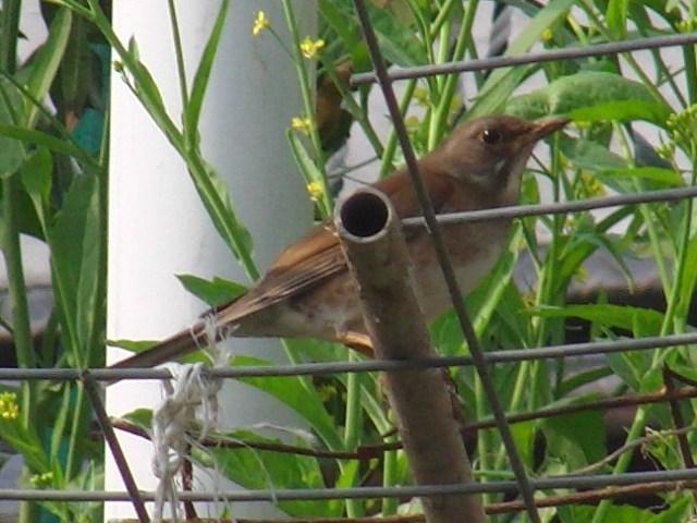シロハラ(ツグミ科)。古人は、鳥を名付けるとき「写真」を子細に見たわけではないのだ。飛び立つとき、あ、腹が白い!、・・・、下から見ることが多いのだから、当然、そう、なる。