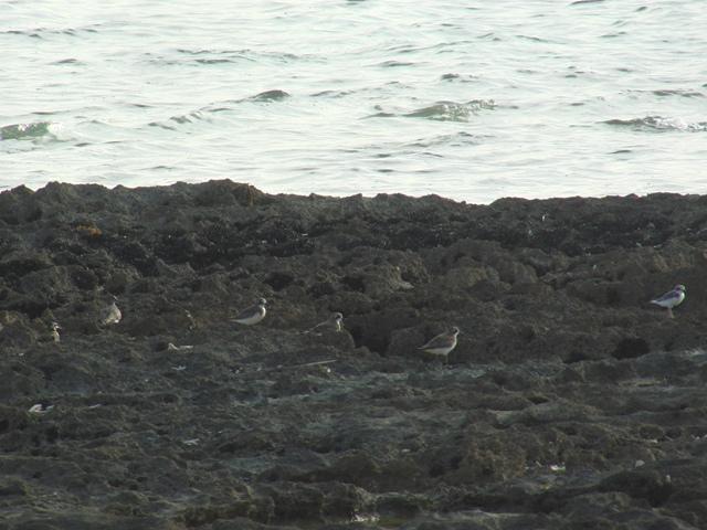 夕方、人影がなくなった岩礁には、シロチドリ(チドリ科)が集まってくる。おや、左端二羽は、「異種」。一番左は、キョウジョシギ(シギ科)、で、その隣は、よく見えないが、アオアシシギ(シギ科)風?