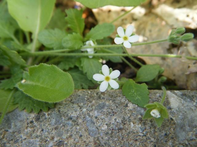 リュウキュウコザクラソウ(サクラソウ科)、花、正面。細かいぎざぎざの、小さな根生葉から、長い茎を立てて、時々枝分かれして、その先端に花がつく。