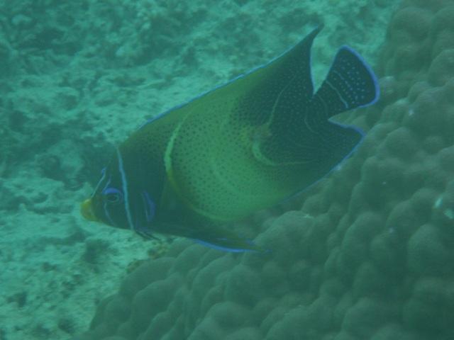 キンチャクダイ科の名称不明魚。横顔。しかし、地上の生き物では考えられない配色だね♪