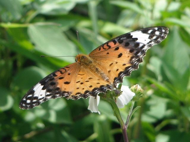 シロノセンダングサ(キク科)上、ツマグロヒョウモン(メス、タテハチョウ科)、翅、全開。