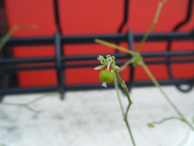 そういえば、二年くらい前から、この植物の名前がわからない。あまりにも小さすぎるから、屋外ではほとんど「見えていない」し、そもそも、どこが、「花」なのだ?、うしろの赤いのはコカコーラ自販機。