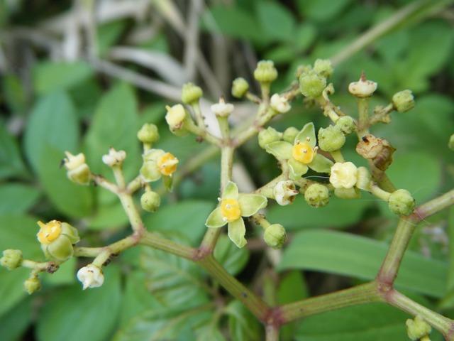 ヤブガラシ(ブドウ科)。「ヤブガラシの花の可愛さは、このオレンジ色の花盤の色合いに・・・」(柳宗民の雑草ノオト)。