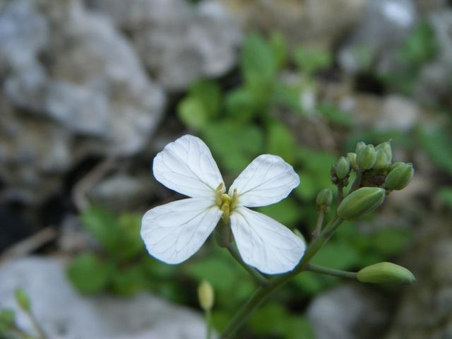 「新種」発見♪、同じく、ハマダイコン(アブラナ科)。白っぽい花もある。
