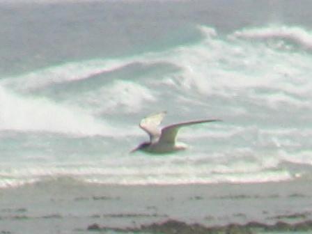 コアジサシ「飛翔」シリーズ1:波頭。
