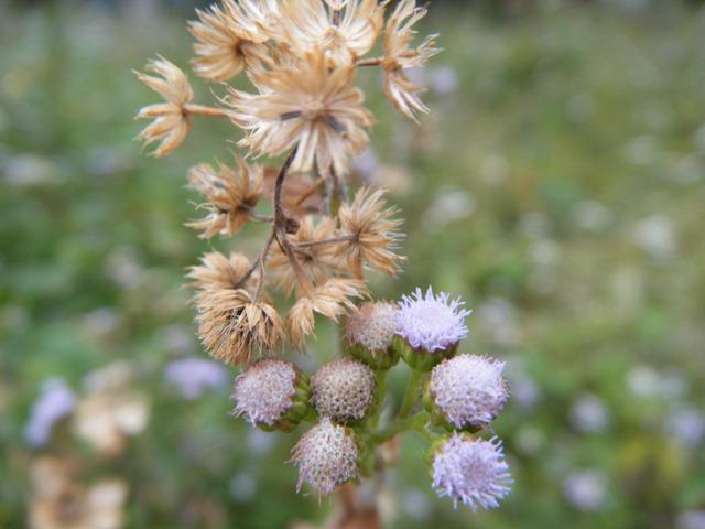 カッコウアザミ(キク科)。花と、綿毛と、すでに綿毛が飛んだあとと・・・。