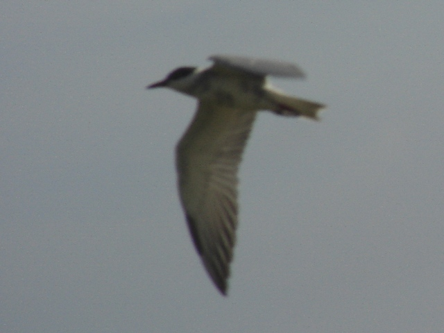 コアジサシ「飛翔」シリーズ2:下から。翼が、長い。足を揃えて、首も持ち上げて、「上昇中」か?