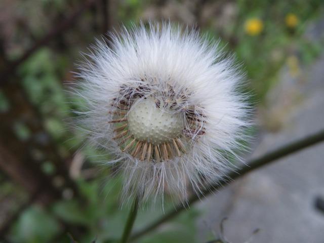 ハルノノゲシ(一名ノゲシ)(キク科・ノゲシ属Sonchusu)、綿毛。すでに飛んでしまった後の、「ゴルフボール」のような?
