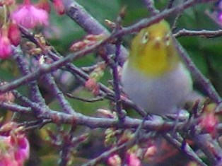今年も、「花喰う」メジロ、の、季節♪、鳥の顔の「正面」、は、やはり、面白い。