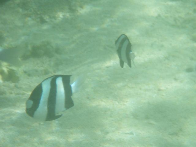 ほとんど「幽玄」という言葉を想起するような・・・。浅い潮だまりの魚影。ミスジリュウキュウスズメダイ(スズメダイ科)。