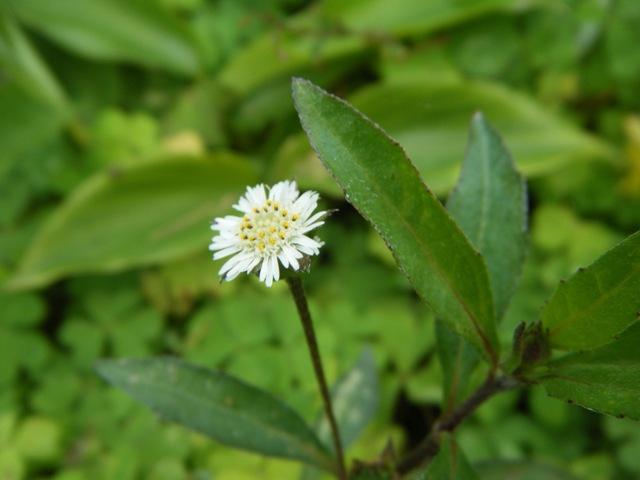 昨日まで「なかった」はずの場所に、すっくと茎立ちして花をつけている!、タカサブロウ(キク科)。