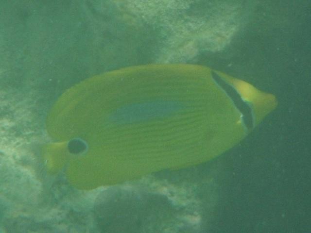 干潮、水深2メートル弱♪、今日は、「大漁」だ!、少し珍しいチョウチョウウオ4種。その1、スミツキトノサマダイ(チョウチョウウオ科)。