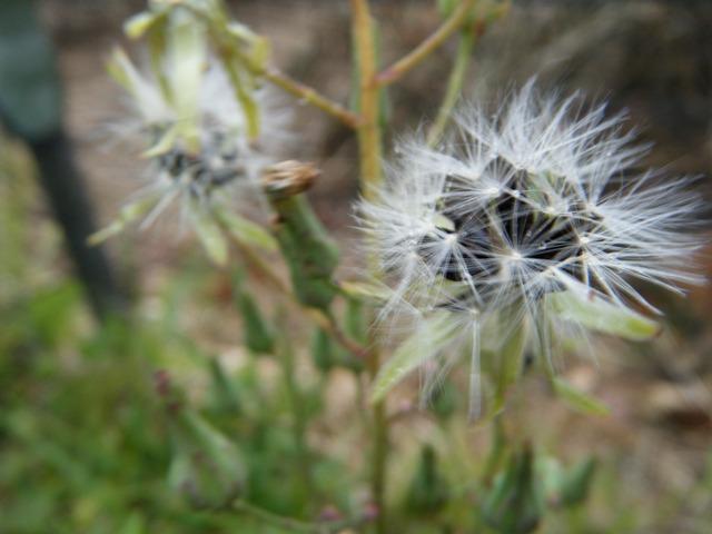 アキノノゲシ(キク科・Lactica)、雨露を戴いた綿毛。「秋」も、終わり?