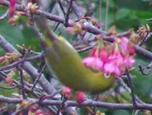 今年も、「花喰う」メジロ、の、季節♪、サクラの花の「上」から顔を突っ込む、「鳥媒花」の「正式」な、食べ方。