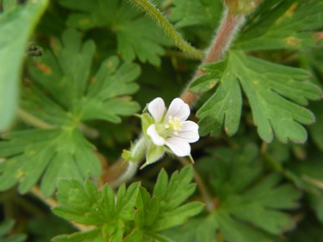 アメリカフウロ(フウロソウ科フウロソウ属/Geranium)。「風露草」。園芸植物「ゼラニウム」、かつてフウロソウ属に分類されていたという事情。同属で有名なのは、薬草ゲンノショウコ、その名も「現の証拠」!
