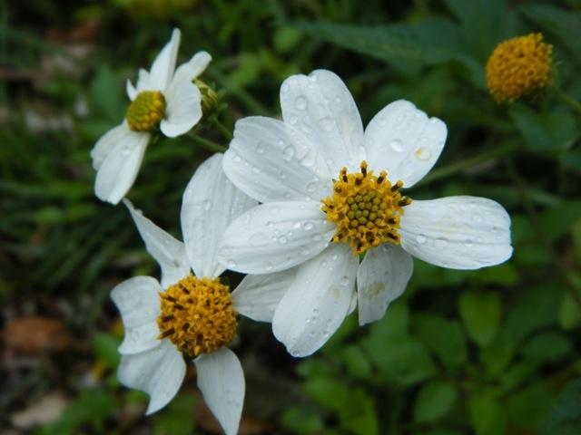 今・日・の・、沖縄の「景観」を、この植物抜きに「語る」ことはできないだろう(!)、もっとも「平凡」な、花♪、舌状花に雨露を載せた、シロノセンダングサ(キク科)。