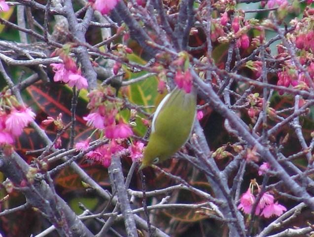 今年も、「花喰う」メジロ、の、季節♪、花が下を向くから、鳥は、逆さ、になる。