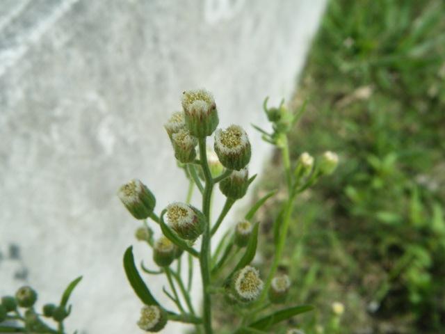 アレチノギク(キク科)。これが、「花」だ、これが「咲いている」状態だ!、白い「アザミ状花」は目立たない。