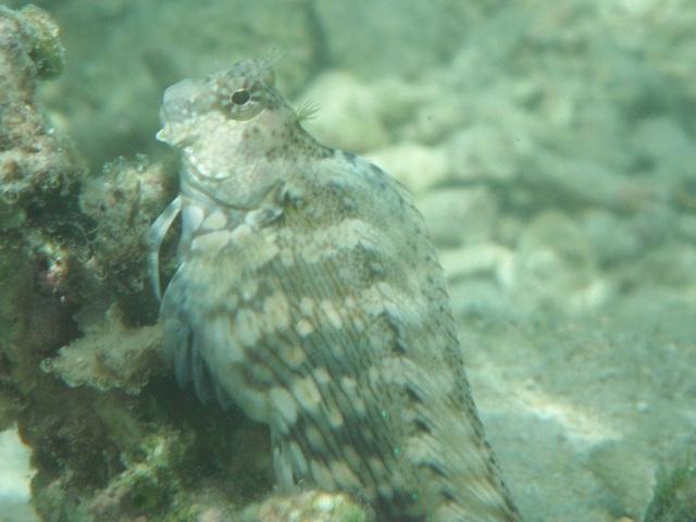 干潮、水深2メートル弱♪、今日は、「大漁」だ!、「潮」に揺られつつカメラを構えるのだから、フレームに収まるのも、ピントが合っているのも、「偶然」。ヤエヤマギンポ(イソギンポ科)。