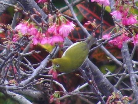 今年も、「花喰う」メジロ、の、季節♪、このサクラ、「緋寒桜」かしら?、「カムパヌラータ・釣り鐘型」、に見えなくもない。