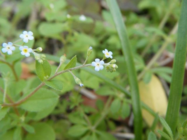 キウリグサ(ムラサキ科)。しぼんだ後の花の先端は青からやがて黄色、雄蕊(?)ははじめ白くやがて黄色、目を凝らしてみると、結構色彩豊かだ。