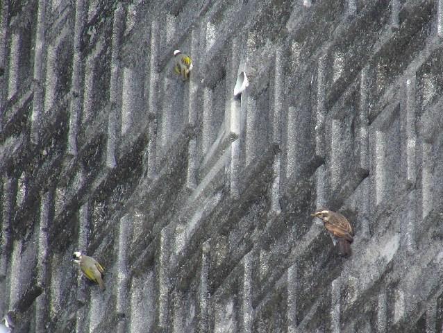 「擬・春」のような、快晴、遊水地、新種発見♪、シロハラかと思ったら、頭と顔の模様が違う!、ツグミ(ツグミ科)、のようである。冬鳥(Winter_Visitor)。シロガシラ達に混じって、壁面に張り付く。