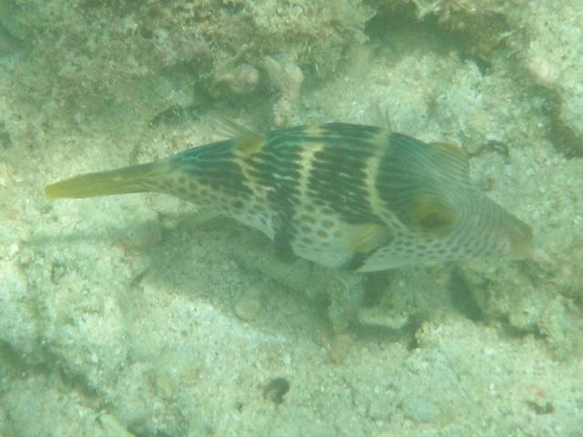 干潮、水深2メートル弱♪、今日は、「大漁」だ!、シマキンチャクフグ(フグ科)。カワハギ科のノコギリハギが、これに「擬態」。背びれの形が「決めて」というから、多分あっている、と思う。