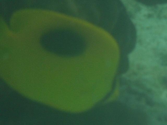 干潮、水深2メートル弱♪、今日は、「大漁」だ!、少し珍しいチョウチョウウオ4種。その3、ボケボケだが、こちらは、トノサマダイ(チョウチョウウオ科)。