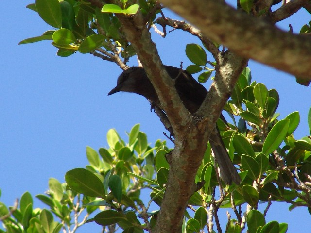「擬・春」のような、快晴、公園の、ガジュマルの木の、ヒヨドリ(ヒヨドリ科)。青空。「南国」だ♪、いや、ヒヨドリは「全国」に分布している。