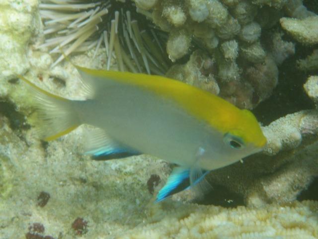 クロスズメダイ(スズメダイ科)の幼魚。成魚と幼魚でデザインが異なるのは、魚類では、「普通」、のことだ。背後は、ナガウニ(ナガウニ科)類か?