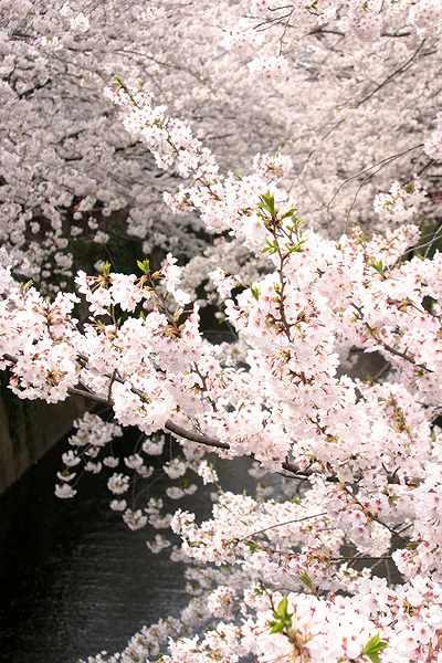 4-9-桜.jpg