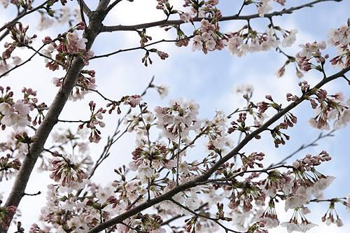 3-7-桜.jpg