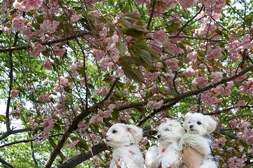 5-12-桜.jpg
