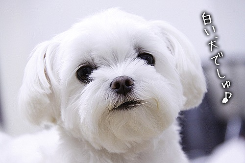 7-31-白い犬.jpg