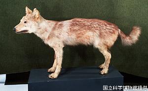 ニホンオオカミの画像 p1_3