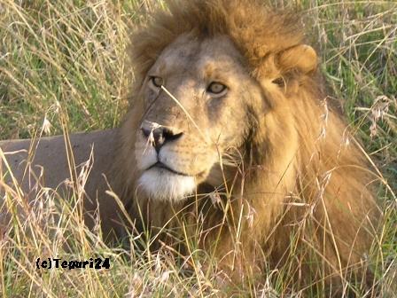 マサイマラのライオン