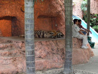 写真撮影用の虎1