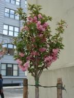 4-26 ブルックリン桜.jpg
