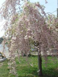 フィラデルフィア 桜.jpg
