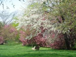 フィラデルフィア 桜2.jpg