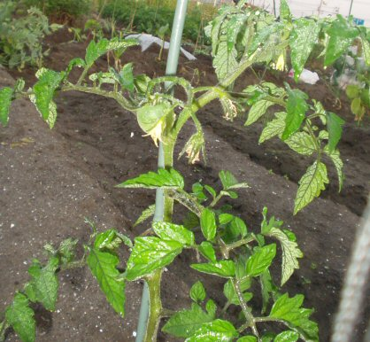 tomato 35%.jpg