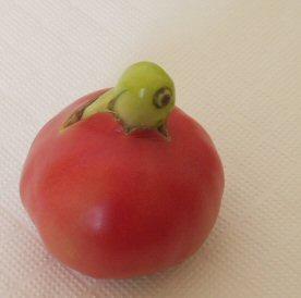 medama tomato.jpg