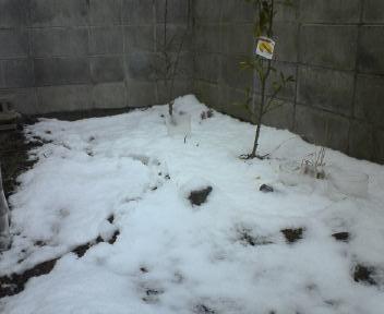 雪に埋もれた苗.jpg