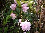 桃色八重咲き