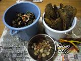 貝収穫.jpg