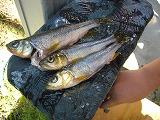 魚収穫.jpg