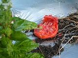 被害トマト.jpg