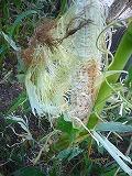 被害トウモロコシ.jpg