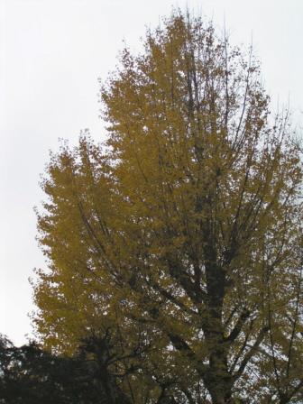 我家のリビングの窓から真正面に見える5階くらいの高さがあるイチョウの大樹です。綺麗な黄色です。随分葉が落ちてしまったのですけどね〜。