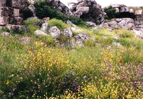 ペルゲ競技場に咲く野の花(トルコ)
